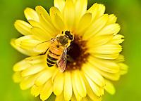 Honeybee inside a flower