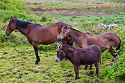 Small, medium and large, Irish horses and donkey turn their backs to the wind in County Clare, West of Ireland