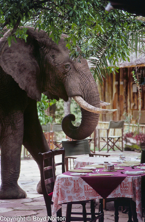 Where does an elephant sit when he comes to dinner? Mara River Camp, Masai Mara Reserve, Kenya.