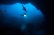 "CHANNEL ISLANDS NATIONAL PARK, CA:  Ralph Clevenger explores an underwater arch while SCUBA diving and swimming with a California Sea Lion ""Zalophus Californianus"" in the Channel Islands National Park, California. (Model Released)"
