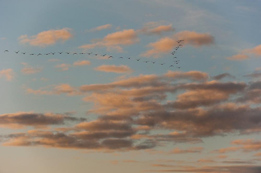 Goose, Lake Tysslingen, Sweden. March 2009. Mission: Sweden (crane and swan)
