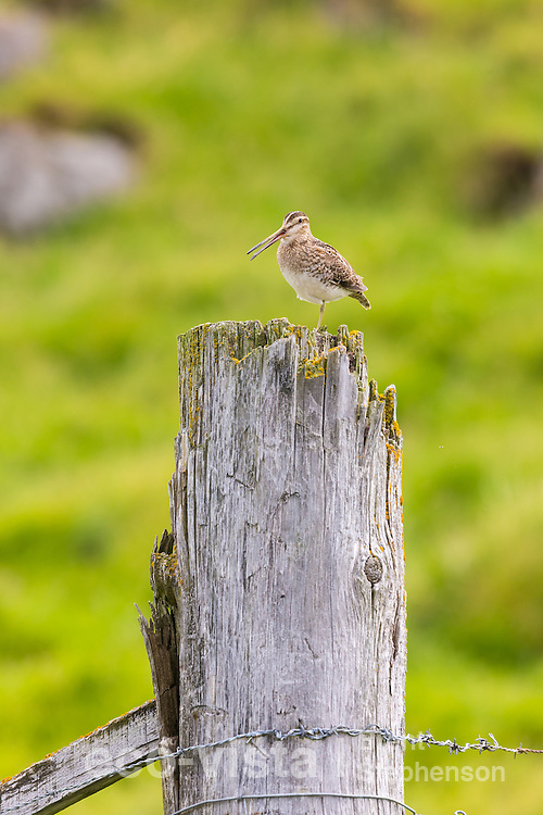 Adult male common snipe (Gallinago gallinago) perched on top of an old fence post calling from within his territory. Flatey, West Fjords, Iceland. July.