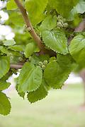 Israel, Lower Galilee, Morus nigra Black Mulberry tree in a garden, spring April 2007