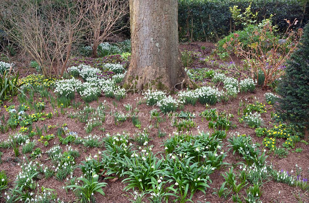 Spring woodland garden border with strulch, spring snowflakes, snowdrops, crocus, winter aconites and hellebores<br /> <br /> Private garden, Lancaster, Lancashire, England