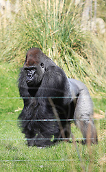 © Licensed to London News Pictures 02/05/2013.Kumbuka, a new male arrival to ZSL London Zoo from Paignton Zoo in Devon, sits in his enclousure. He is a 15 year old western lowland gorilla who weighs a hefty 29 stone (185 kgs)..London, UK.Photo: Anna Branthwaite/LNP