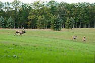 This big bull elk is rounding up these two stragglers that have gotten to far away from the rest of his herd.