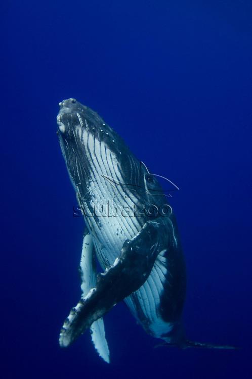 Young humpback whale, Megaptera novaengliae, Toku, Va Va'u, Tonga.