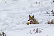 Coyote (canis latrans) in winter habitat