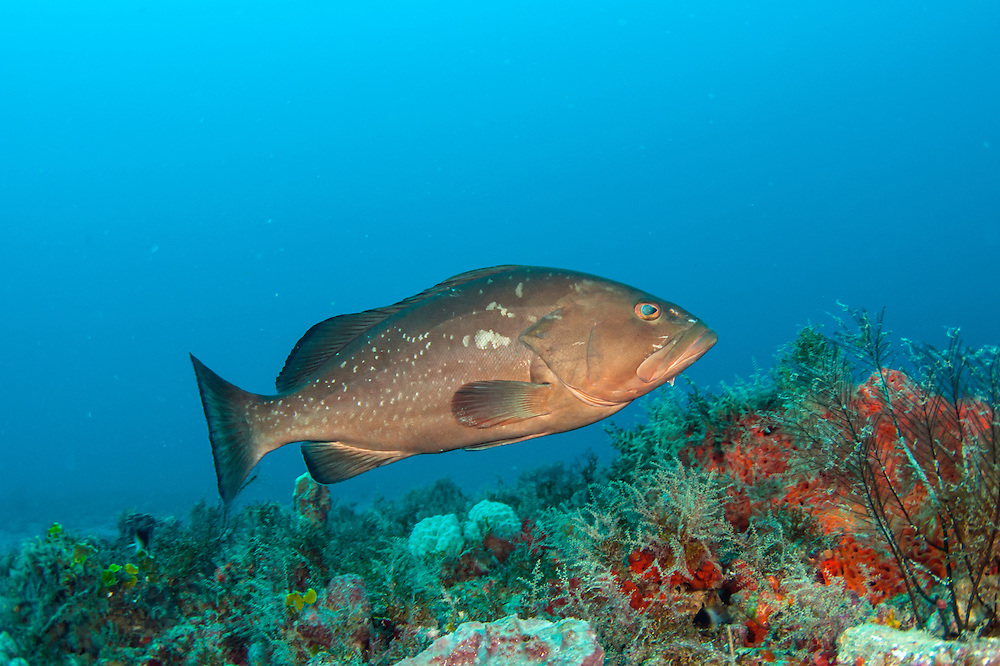 A Red Grouper, Epinephelus morio, swims over a coral reef offshore Palm Beach, Florida, United States.