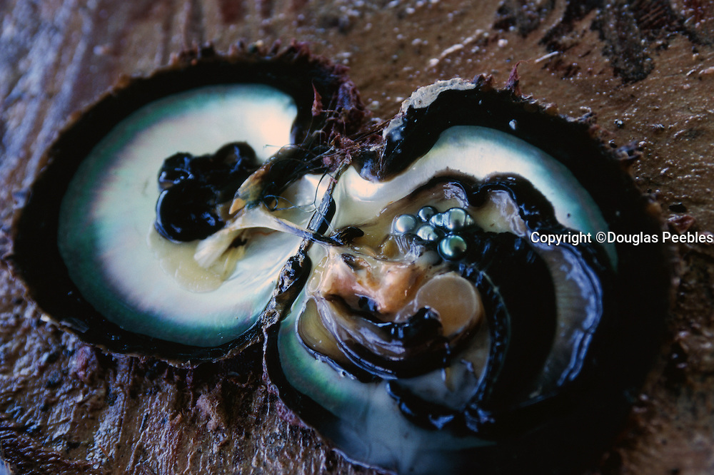 Black pearls on oyster, Tuamotu, Frenck Polynesia