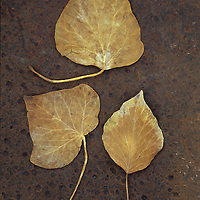Three brown autumn or winter leaves of Ivy or Hedera helix lying on rusty metal sheet