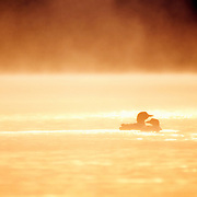 Northern loons (Gavia immer) swimming on a lake at sunrise