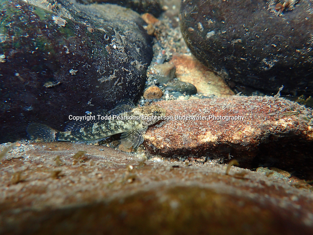 Shorthead Sculpin<br /> <br /> Todd Pearsons/Engbretson Underwater Photography