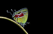 Green Hairstreak Butterfly (Lycaeninae)<br /> Yasuni National Park, Amazon Rainforest<br /> ECUADOR. South America