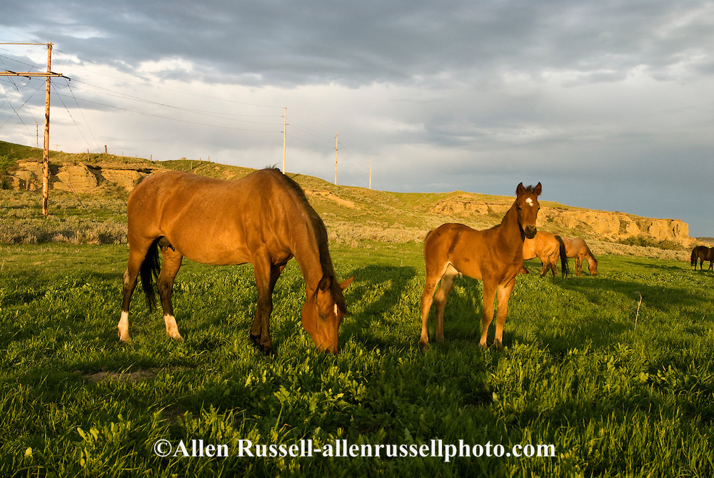 Quarter Horses, Bay mare with foal<br /> PROPERTY RELEASED