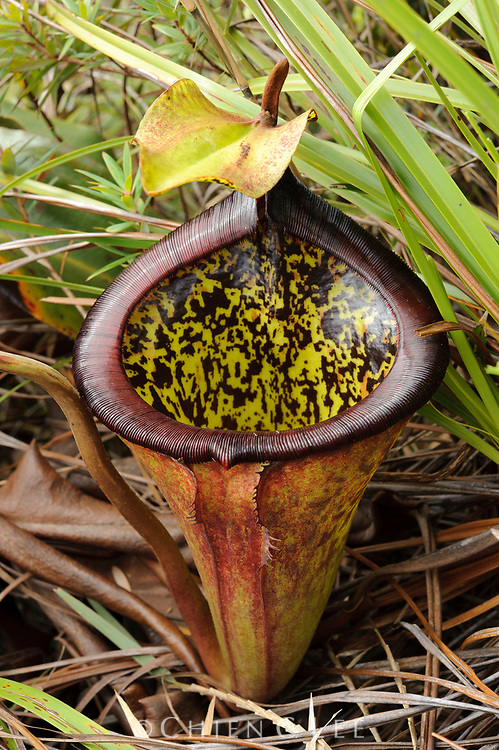 The large and colorful pitchers of Nepenthes attenboroughii can exceed a volume of several litres.  This newly discovered carnivorous plant is endemic to a single mountain on the island of Palawan.