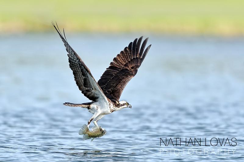 Osprey (Pandion haliaetus) with fish in flight.