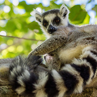 The ring-tailed lemur is a primate and the most recognizable lemur due to its tail.  It is endemic to Madagascar.