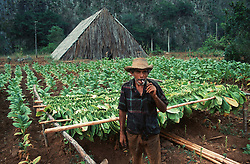 A tobacco farmer smoking a cigarette in front of his field and thatched tobaccodrying barn near to Vinales; Pinar Province; Cuba,