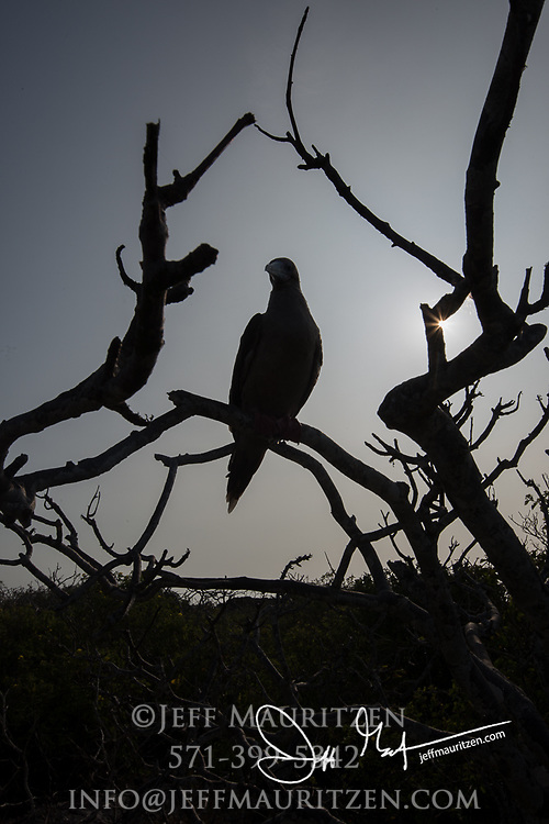 Silhouette of a Red-footed booby at sunset on Genovesa island, Galapagos.