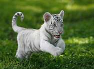 BRENDAN FITTERER  |  Times.PT_327165_FITT_tiger_1 (08/20/2010 Dade City) .Diamond, an 8-week-old white tiger, pounces through the grass at Dade City's Wild Things zoo. Though only 20 pounds now, the blue-eyed cat will grow to 600 pounds.