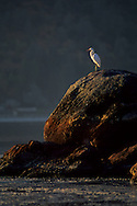 Egret on rocks at sunrise, Clear Lake, Clear Lake State Park, Lake County, California