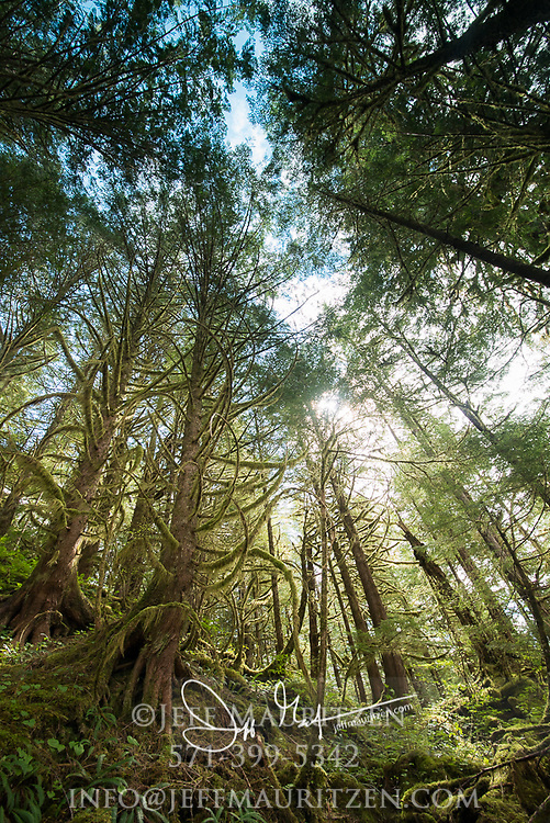 Looking up in the forest of Lowe Inlet Marine Provincial Park, British Columbia, Canada.