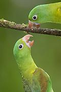 Orange-chinned Parakeet <br /> Brotogeris jugularis<br /> Northern Costa Rica, Central America
