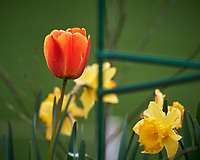 Orange Tulip flower and yellow Daffodil flower. Image taken with a Nikon D5 camera and 600 mm f/4 VR lens (ISO 320, 600 mm, f/5.6. 1/1250 sec)