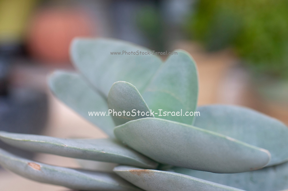 Crassula falcata, known by the common names airplane plant and propeller plant, is a succulent plant endemic to South Africa