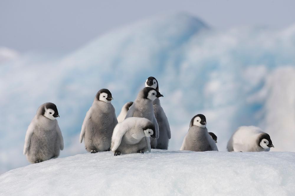 Antarctica, Snow Hill Island, Emperor Penguin chicks (Aptenodytes forsteri) on frozen sea ice on sunny afternoon
