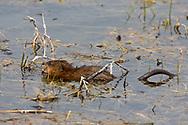 Muskrat in wetland habitat