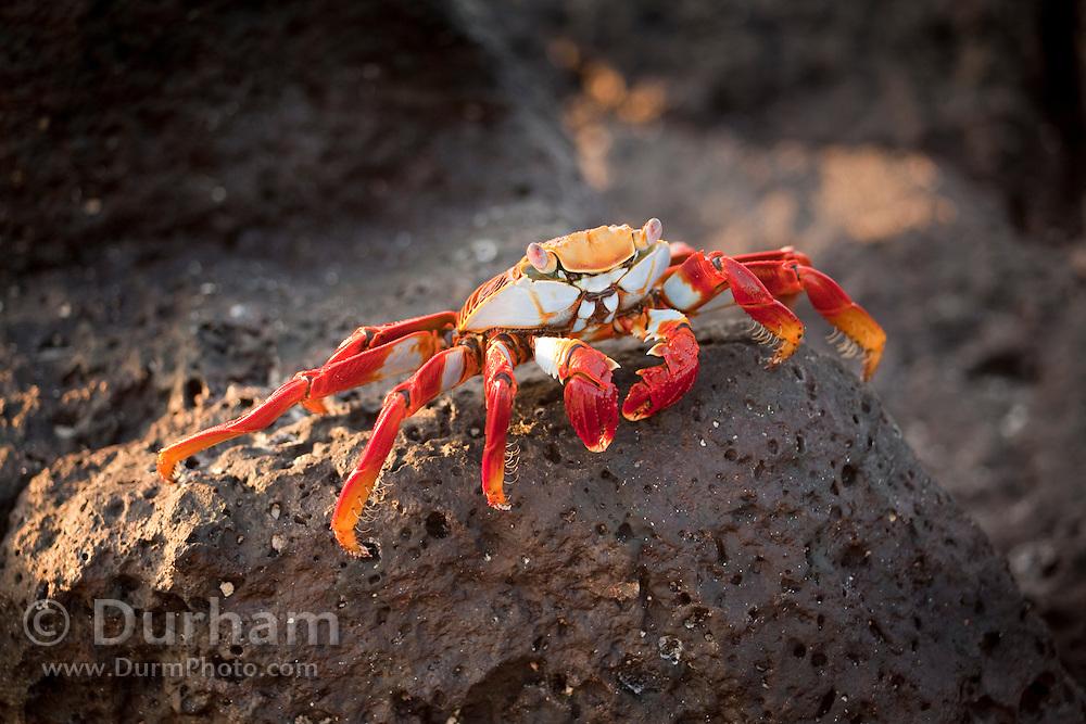 A red rock crab, or Sally Lightfoot (Grapsus grapsus) on Bachas Beach, Santa Cruz Island, Galapagos Archipelago, Ecuador.