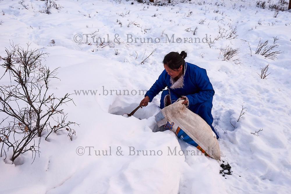 Mongolie, province de Khovsgol, les Tsaatans, éleveurs des rennes, campement en hiver des Tsaatan, jeune femme ramassant de la neige pour faire du thé // Mongolia, Khovsgol privince, the Tsaatan, reindeer herder, the winter camp, young woman e snow to make a tea