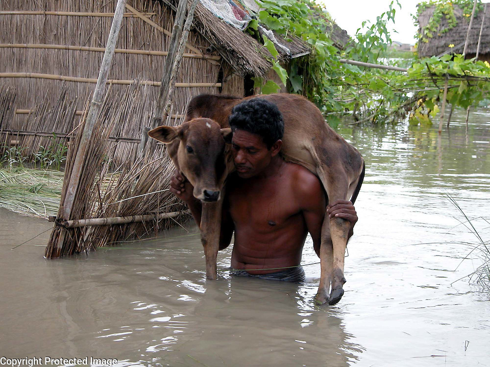 An unidentified village farmer carries his cattle to a safer place after their cowshed submerged by floodwater at Aeermare village, about 219 kilometers  southwest of Gauhati, capital of northeastern Indian state of Assam, Wednesday, June 30, 2004. ..Floodwaters of the Asia'a one of the largest river, Brahmaputra and its 35 tributaries have affected more than one million in all of Indian subcontinent and disrupted communication in many parts of the India and Bangladesh, sources said. (AP Photo/ Shib Shankar Chatterjee)..