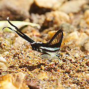 The White Dragontail (Lamproptera curius) is a species of swallowtail native to parts of South Asia and Southeast Asia. It belongs to the Dragontails genus, Lamproptera, of the Swallowtail (Papilionidae) family.