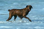 PRT, Portugal: Streunender Hund, Haushund (Canis lupus familiaris), erfreut sich an der seichten Meeresküstenlinie, Armacao de Pera, Algarve | PRT, Portugal: Stray dog, domestic dog (Canis lupus familiaris), enjoying the shallow shore line of the sea, Armacao de Pera, Algarve |