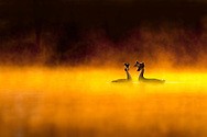 Great crested grebe (Podiceps cristatus) pair performing courtship display at dawn, backlit and surrounding by mist, Cheshire, UK