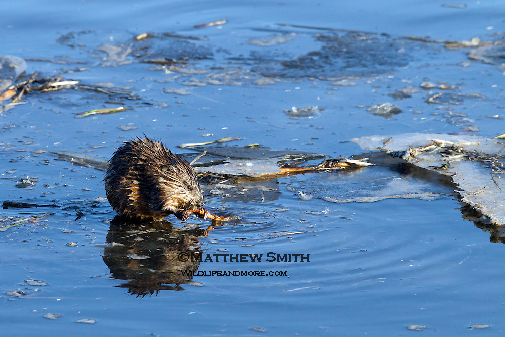 Muskrat eating a twig on a partially frozen creek in Grand Teton National park Wyoming