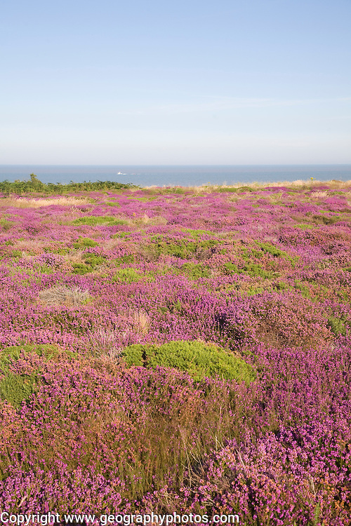 Heather in flower with view to sea on Dunwich Heath, Suffolk, England