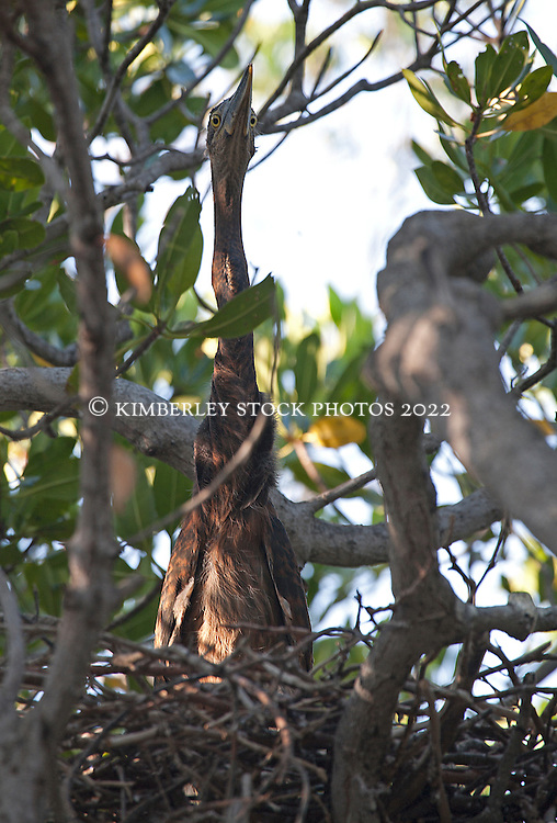 A Great billed heron chick (Ardea sumatrana) in the mangroves on Augustus Island on the Kimberley coast.  The herons are listed as 'least concern' although they are vulnerable to mangrove habitat degredation.