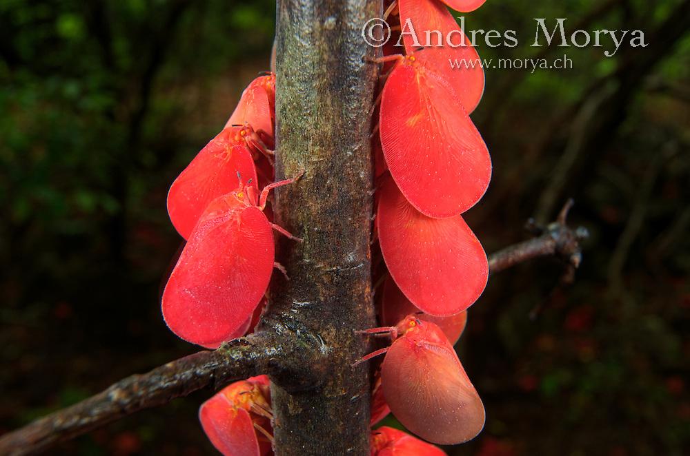 Adult Flatid Leaf Bugs (Phromnia rosea), adults, Montagne des Français Reserve, Antsiranana, Northern Madagascar Image by Andres Morya