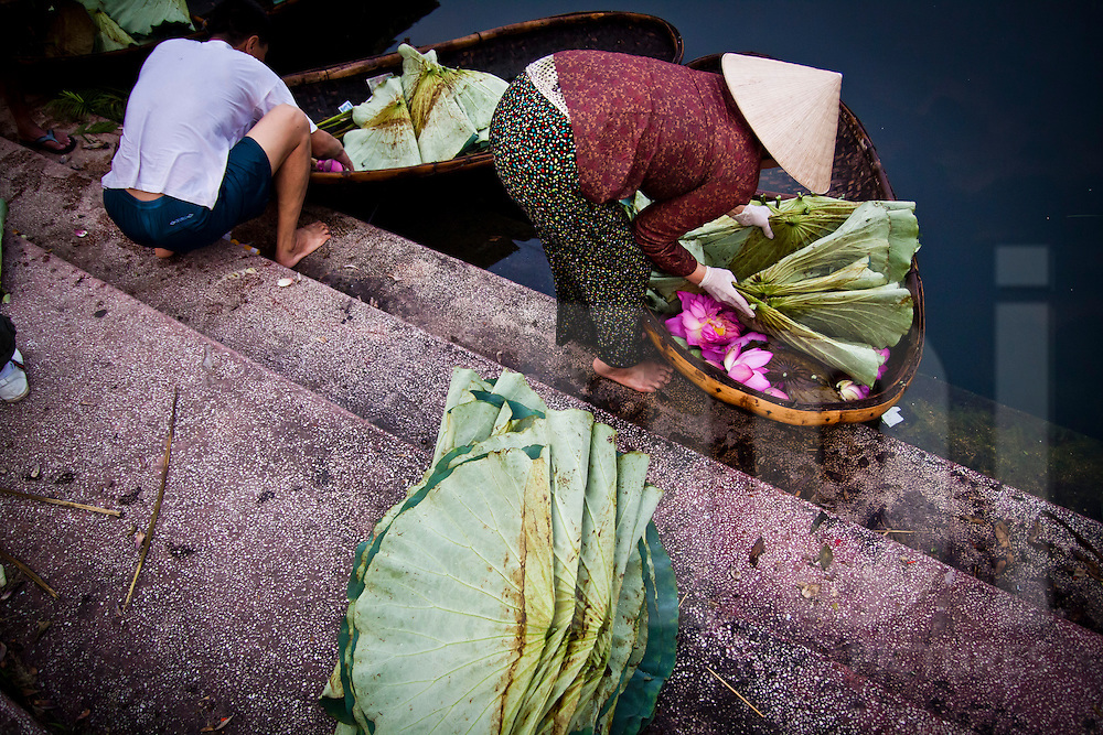 Freshly picked lotus flowers are sorted at the shore at West Lake, Hanoi, Vietnam.
