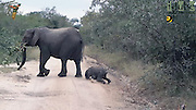 Upsadaisy: Moment baby elephant trips over his trunk... and mommy comes rushing to check he's ok<br /> <br /> This is the moment a clumsy baby elephant took a tumble as he rushed to catch up with his mother as she crossed a road.<br /> The cute calf had been taking a stroll through the bush with his mother at Idube Game Reserve in South Africa.<br /> When the pair came across a dirt track road, the adult strolled on ahead confidently.<br /> <br /> But when the baby elephant rushed to catch her up he appeared to get his leg caught in the grass.<br /> <br /> The clumsy little one stumbled as he stepped down onto the path and struggled to regain his balance.<br /> Eventually he fell over and landed - trunk first - down in the mud.<br /> <br /> Luckily the young elephant did not appear to hurt anything but his pride and was quickly back on his feet.<br /> Noticing her clumsy calf's fall, the mother elephant, who was carrying a huge tree branch in her trunk, had halted her onward march and turned back to check her baby.<br /> Having given him a once over, the pair disappeared back into the bush.<br /> The incredible moment was captured by reserve ranger and wildlife filmmaker Rob Vamplew, known as Rob the Ranger.<br /> © Rob Vamplew/Exclusivepix Media