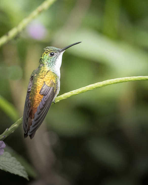 Amazilia tobaci, female, Asa Wright Center, Trinidad