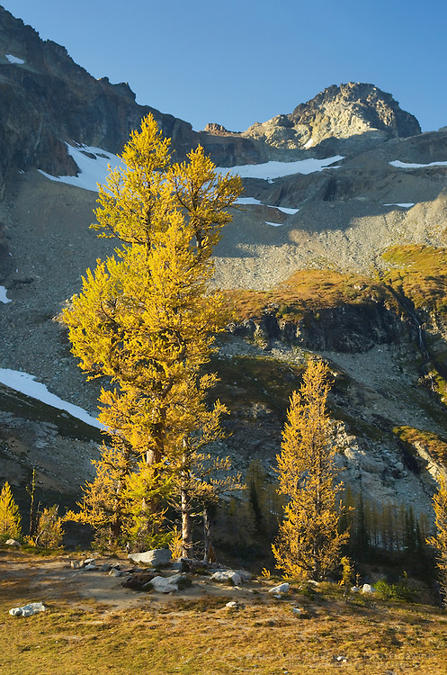 Subalpine Larch (Larix lyallii), Black Peak, North Cascades Washington