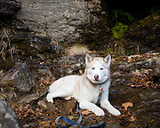 Boston area pet portrait photographer. Husky. Fitchburg.