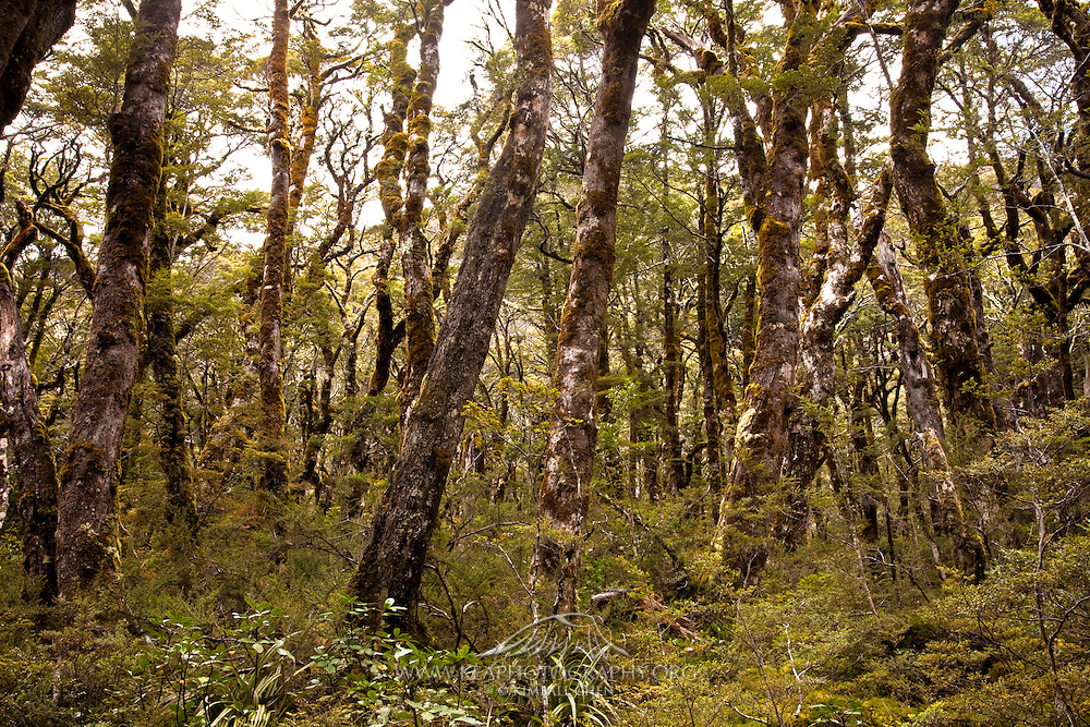 Forest, Mount Aspiring National Park, New Zealand