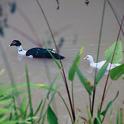 Local geese/ducks at he Marisa Boutique Resort in the jungle near Chiang Dao, Thailand.