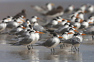 Lesser Crested Tern - Sterna bengalensis - Non breeding adults